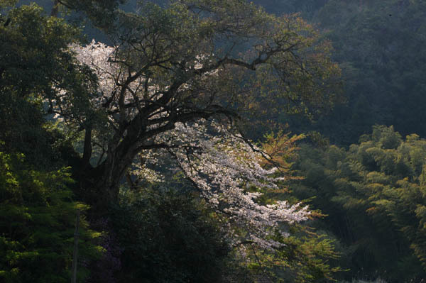 古木と桜.jpg