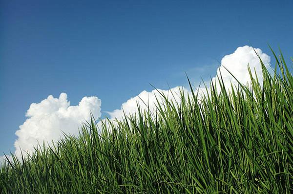夏の稲.jpg