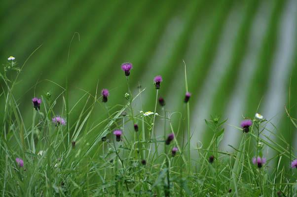 畦に咲く.jpg