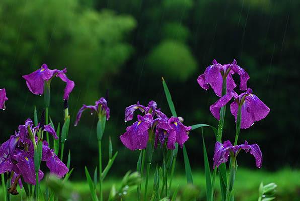 雨に咲く花.jpg
