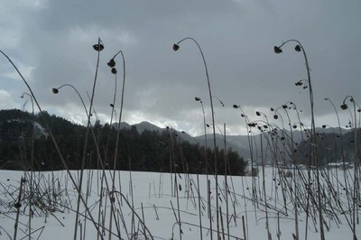 冬の向日葵.jpg