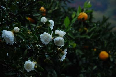 山茶花と蜜柑.jpg