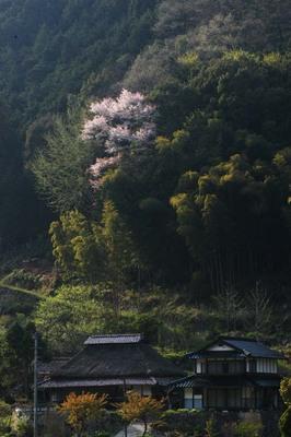 urayamanosakura.jpg